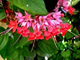 RED Bleeding Heart Vine Live Plant Clerodendrum speciousos Favorite Heirloom Shade Garden Unusual Flower Starter Size 4 Inch Pot Emerald Tm