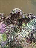 Live Rock 20 Pound Salt Water Fish Aquarium TOP QUALITY ROCKS OR YOUR $$$ BACK