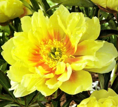 1 Root Peony 'Bartzella' Large 2/3 Eye Root Div. Plant Full Sun Perennial Shrub Flowers