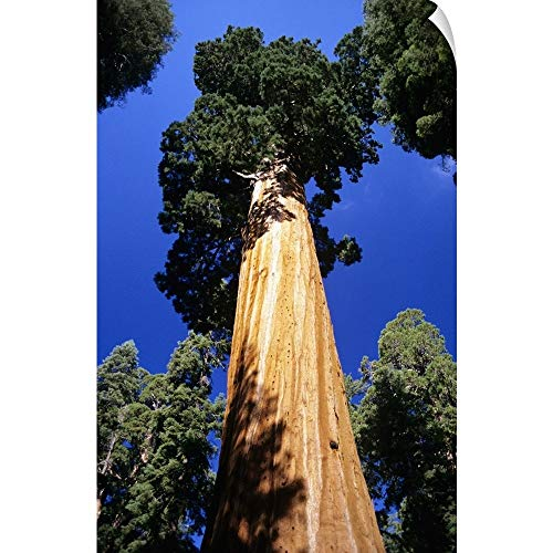 "CANVAS ON DEMAND California, Giant Sequoia Tree National Park, View of Tree from Bottom Wall Peel Art Print, 16""."
