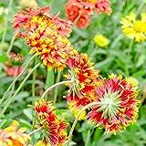 Outsidepride Gaillardia Pulchella - 5000 Seeds