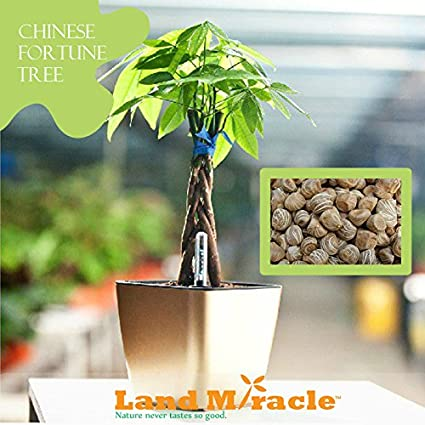 chinese perfume plant, coin plant, chinese dollar plant, chinese lucky plants, chinese people plant, chinese fringe plant, chinese coin tree, chinese plants and trees, chinese palm plant, chinese bamboo plant, chinese bamboo tree, chinese new year good luck plant, chinese house plants, chinese jasmine plant, chinese dragon plant, calathea ornata plant, chinese good luck money plant, chinese fern plant, chinese good luck tree, lucky money plant, on chinese money tree plant