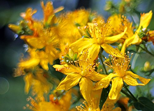 Print on Metal Bloom St John's Wort Hypericum Perforatum Blossom Print 12 x 18. Worry Free Wall Installation - Shadow Mount is Included.