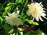 2 pcs Cuttings White Orchid Cactus Epiphyllum