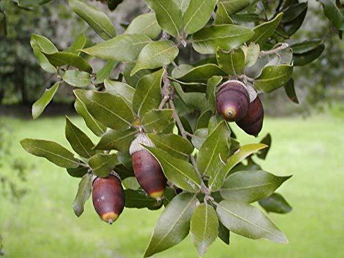 "Portal Cool Holm Oak""Quercus Ilex"" 5 Seeds (Acorns)"