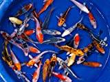 Koi - 10 Live Koi Fish for Pond, Fish Tank or Aquarium | Lot of 10 Standard Fin Grade A Quality Koi (3-4 inch)