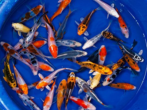 Koi - 10 Live Koi Fish for Pond, Fish Tank or Aquarium | Lot of 10 Standard Fin Grade A Quality Koi (3-4 inch) by Chalily