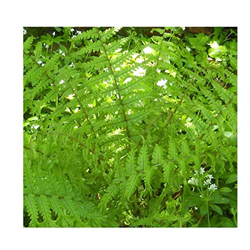 gardenexpert Dryopteris affinis Crista The King 9cm Pot Size Fern Green