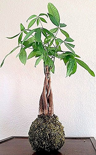 Japanese Bonsai Money Tree Kokedama String Garden House Plant Moss