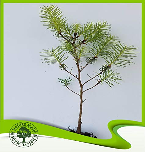 Umbrella Pine Tree - Pinus pinea (Umbrella pine) - Plant