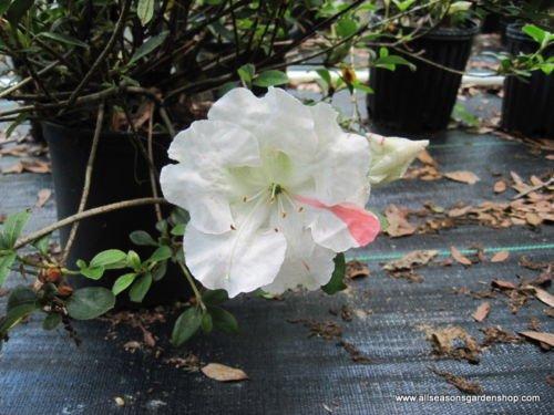 Hybrid Azalea - Azalea, SIX plants, Azalea 'Getsutoku' (Satsuki hybrid), great for bonsai