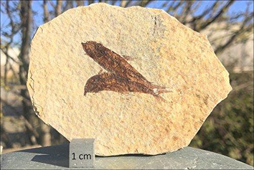FS9410: USA Eocene, Fossil Fish (Knightia alt), A-grade