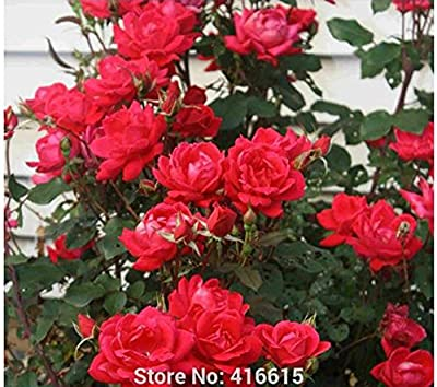 100 Rose Double Knock Out Seeds Landscape Planning - Easy to Grow Roses Shrub Rose Seeds Bonsai Flower And Garden Plants Seeds