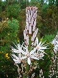 1 Packet - 10 Seeds of Asphodel Asphodelus Albus/Asphodelaceae