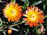 Orange Wonder Ice Plant - Perennial - Delosperma - Live Plant - Quart Pot