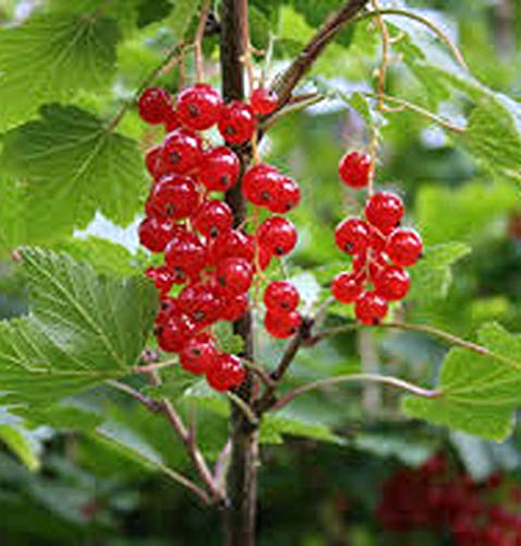 Ma_Plant Red Currant Fruit Shrub Small Tree with Sweet Edible Berry Live Plant ()