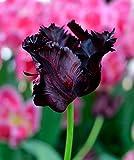 5 Bulb - Black Parrot- Tulip - Big Blooms Excellent for Bouquets- 12/+cm
