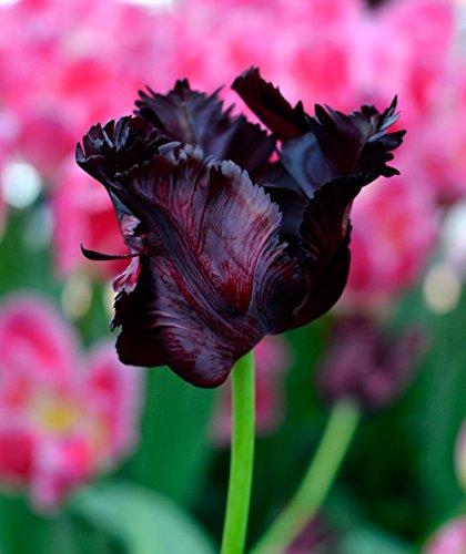 5 Bulb - Black Parrot- Tulip - Big Blooms Excellent for Bouquets- 12/+cm by zry-melatw