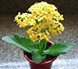 Kalanchoe Blossfeldiana Yellow Flower, Rare Mesembs Succulents Seed 15 Seeds