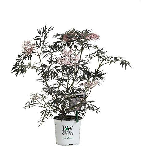 (Black Lace Elderberry (Sambucus) Live Shrub, Pink Flowers, 1 Gallon)