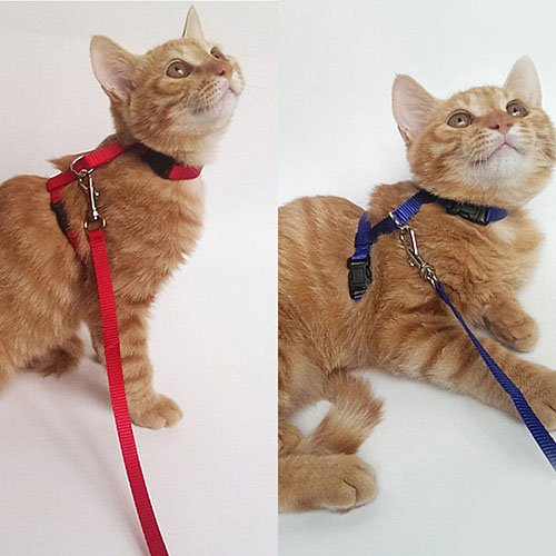Lil Lion 2 Pack Cat Leash Harness With Adjustable Nylon Collar In H Style One Size Fits All Animals Red Blue by Lil Lion (Image #3)