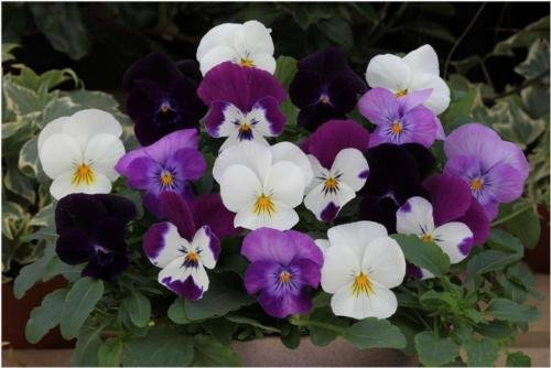 25 Seeds - Trailing Pansy Freefall Moonlight Mix Pansy Seeds Hanging Basket Pansy