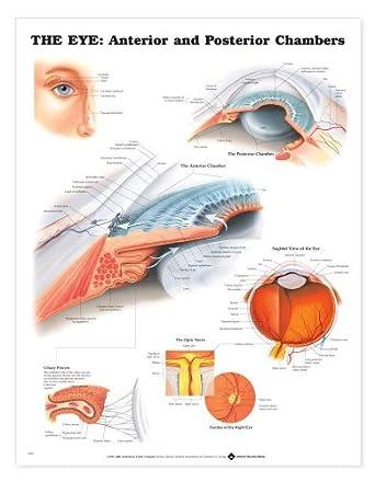 Anterior and Posterior Chambers Chart Human Eye