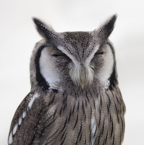 Home Comforts LAMINATED POSTER Gray White Snow Spotted Owl C