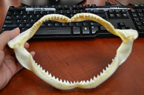 Real Silky Shark Teeth Tooth Jaw Mouth Craft 10
