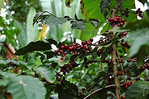 Coffee Plant Seeds ★ ETHIOPIAN DJIMMAH ★ Wild Grown ★ GMO FREE BEAN ★ 25 Seeds