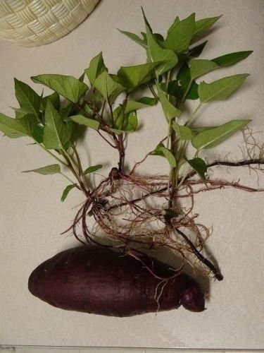 Purple okinawan sweet potato (2 SLIPS) Also known as Hawaiian Sweet Potato