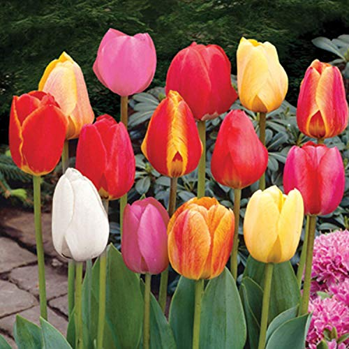 (6 Mixed Color Beautiful Tulip Bulbs Bulb Starter Garden Collection Blooms Early to Late Spring)