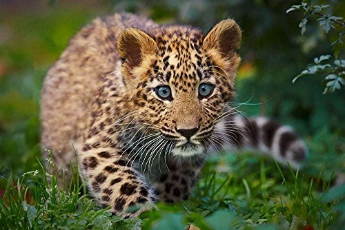 Baby Leopard - Art Print Poster,Wall Decor,Home Decor(36x24inches) (Baby Leopard Pictures)