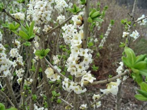 Amazon Com Daphne Mezereum Alba February Daphne 8 Seeds