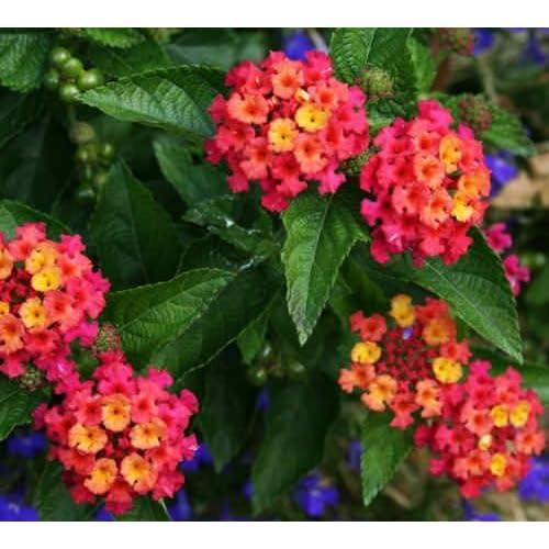 """(ALANB)~""""BANDANA CHERRY SUNRISE"""" LANTANA~Seeds!~~~~~Exciting Fragrance! hot sale"""