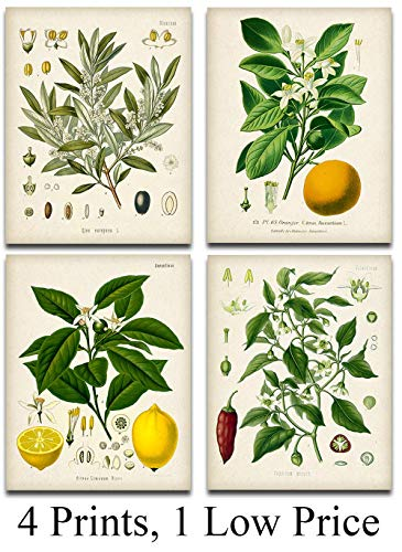 (Kitchen Botanicals Illustrations - Set of 4-11x14 Unframed Art Prints - Great Kitchen Decor and Gift Under $25 for Nature Lovers)