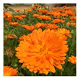 David's Garden Seeds Herb Calendula Alpha SL2935 (Orange) 100 Non-GMO, Organic Seeds