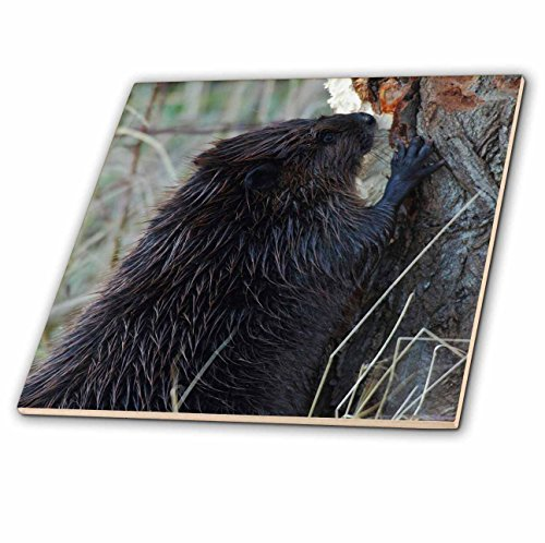 - 3dRose Danita Delimont - Beavers - American Beaver chewing on tree - 8 Inch Glass Tile (ct_278057_7)