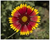 Blanket Flower (Gaillardia aristata), Seed Packet, True Native Seed