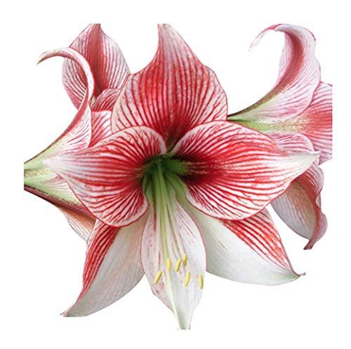 Special Sale: Glee Amaryllis - 28-30 cm Bare Root Bulb (Bulbs Bulk Amaryllis)