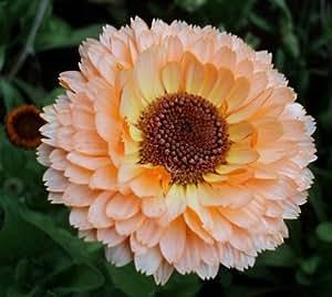 Calendula Pink Surprise 25 seeds * Herbal tea* Cut flower * Lovely * CombSH D41