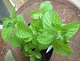 "Apple Mint - Herb Plant - Very Fragrant - Mentha - 3.5"" Pot"