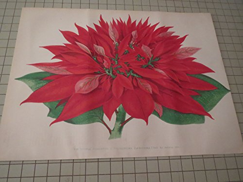 Double Poinsettia - 1876 Color Lithograph of the Double Poinsettia - P. Pulcherrima Plenissima (Half the Natural Size) - Flowers