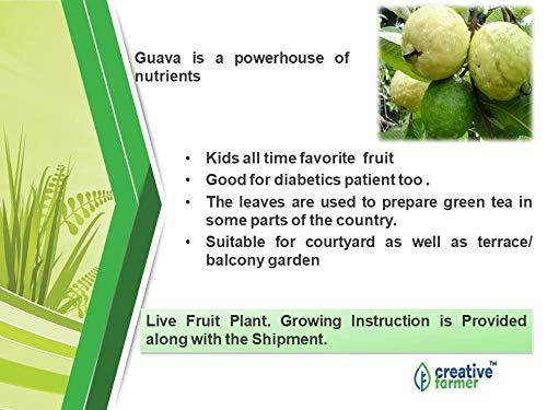 Creative Farmer Live Plant Gauva Fruit Taiwan Guava Fruits