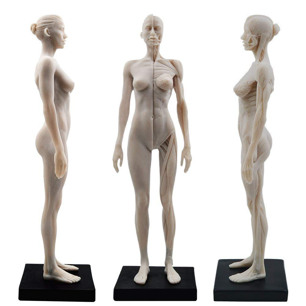 Amazon Dport Female Anatomy Figure 11 Inch Anatomical Reference