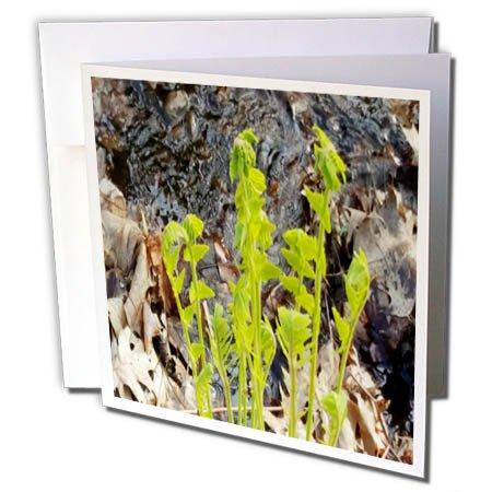 3dRose TDSwhite - Spring Seasonal Nature Photos - Spring Ferns Water - 6 Greeting Cards with Envelopes (gc_284308_1) ()