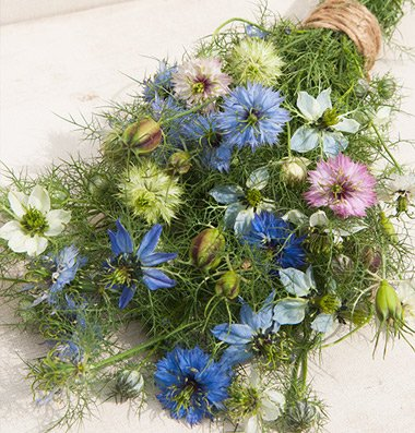 Love Mist - David's Garden Seeds Flower Nigella Love In A Mist SV1532 (Multi) 500 Heirloom Seeds