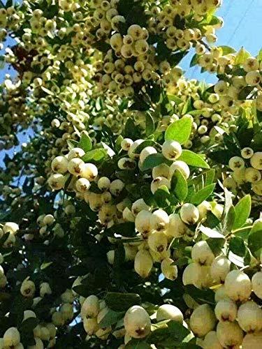 Modern Plants Live Chinese Guava/Amrud/Amrood Fruit Plant