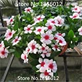 Promotions!!Catharanthus roseus flower seeds, perennials Bonsai seeds, Bloom all the year round 200pcs