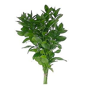 Natural Israeli Ruscus Greens 109